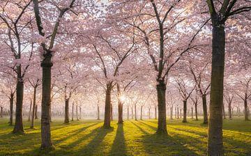Bloesempark roze Amstelveen van Rob Visser