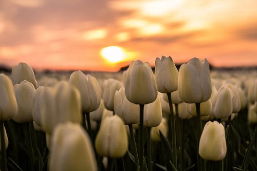 Tulp zonsondergan