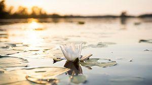 Waterlelie in de ondergaande zon van