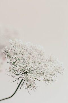 Vlierbloesem tak - pure white