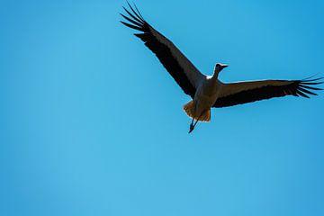 Ein Storch fliegt weit am Himmel vorbei mit blauem Hintergrund von Matthias Korn
