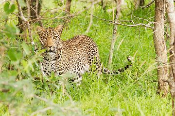 Doordringende blik luipaard von Lotje Hondius