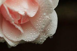 Regendruppels op roos