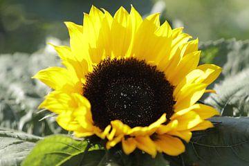 Close up van een zonnebloem von Cora Unk
