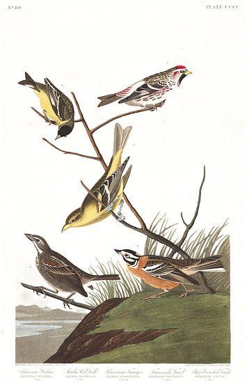 Witbandsijs van Birds of America