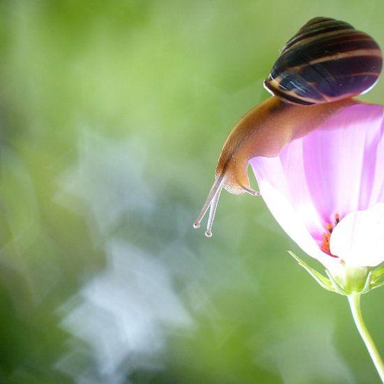 Cosmea bloem en slak