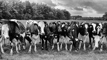 Nieuwsgierige koeien op een rij in zwart-wit van