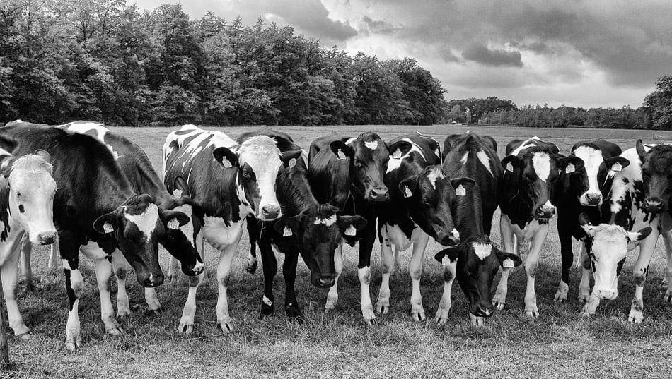 Nieuwsgierige koeien op een rij in zwart-wit