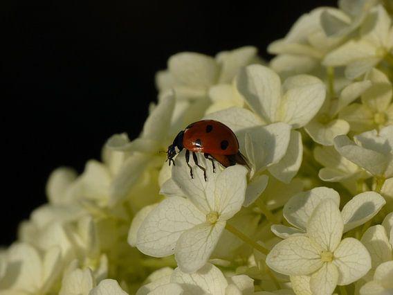 lieveheersbeestje op een witte hortensia van Jessica Berendsen