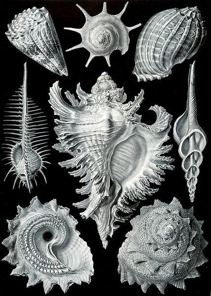 Prosobranchia, Ernst Haeckel von Het Archief
