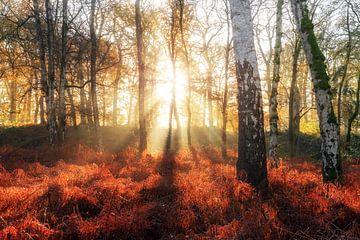 Zonsopkomst in het berkenbos in de herfst van