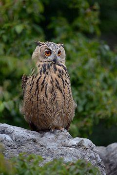Uil / Adelaarsuil ( Bubo bubo ) zit in een groeve op een kei en kijkt rond, wild, Europa. van wunderbare Erde