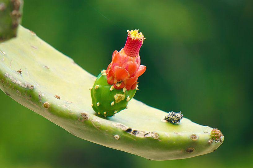 Cactusbloem van Joris Pannemans - Loris Photography