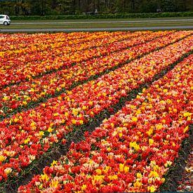 BLOEMBOLLENVELDEN/FLOWERING BULBS FIELDS sur Roelof Touw