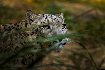 Hiding snow Leopard van Sake van Pelt