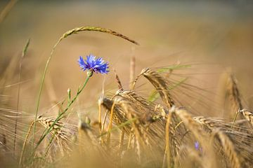 Blaue Kornblume in goldenem Getreidefeld von Silvio Schoisswohl