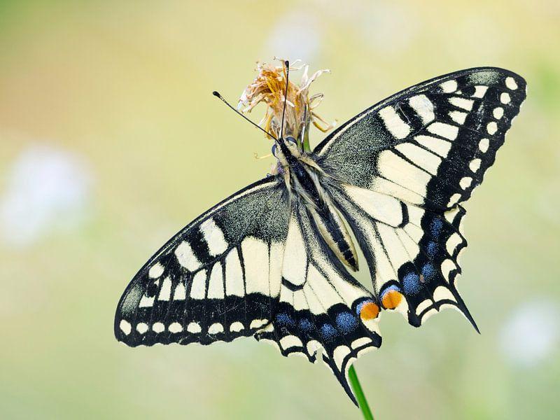 Koninginnenpage (Papilio machaon) vlinder op een bloem van Nature in Stock