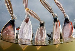 Vissende Kroeskoppelikanen (Pelecanus crispus)