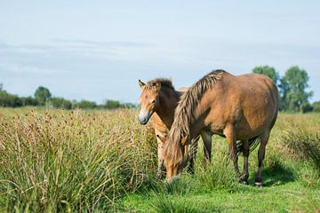 Exmoor-Pony mit Fohlen von Maria-Maaike Dijkstra