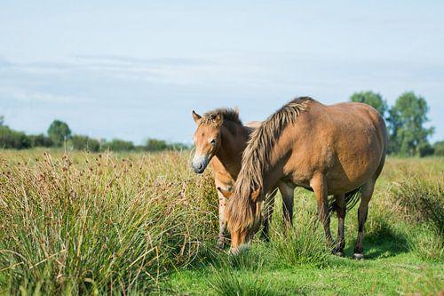 Exmoor pony met veulen van Maria-Maaike Dijkstra