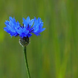 Koren-Blauw (Korenbloem) van Caroline Lichthart