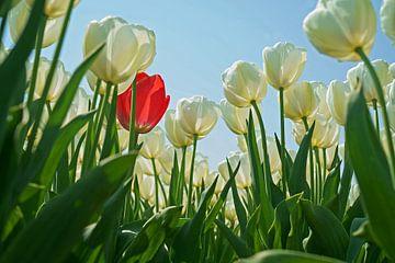 Bollenveld met witte tulpen en slechts één rode ertussen. van Gert van Santen