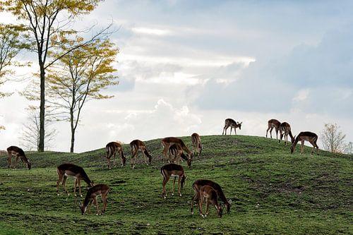 Impala's