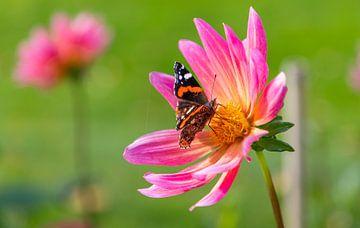 Atalanta Schmetterling ... von Bert - Photostreamkatwijk