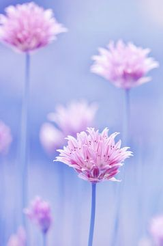 Schnittlauchblüten van Violetta Honkisz