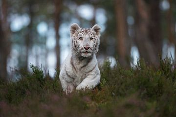 Royal Bengal Tiger ( Panthera tigris ), white animal, running fast, jumping through the undergrowth  van wunderbare Erde