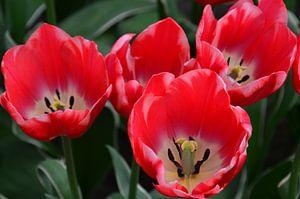 Tulipa in het Roze met een tikkeltje wit