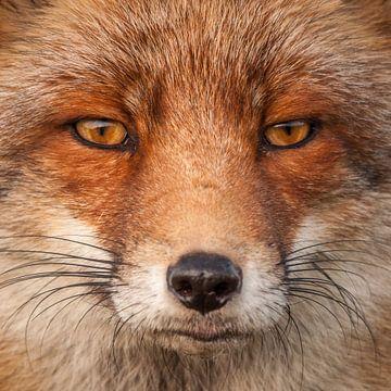 Staarwedstrijd met een vos... von Hermen van Laar