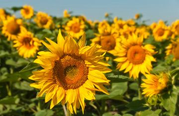 Sunflower von Ellen Driesse
