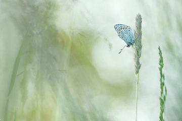 Icarusblauwtje- Common Bleu von Aukje Ploeg