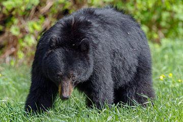 Black bear sur Menno Schaefer