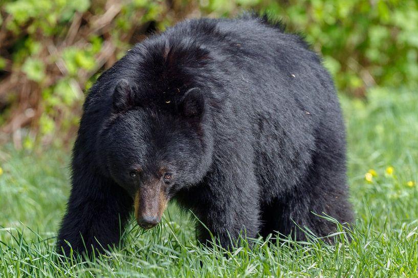 Black bear von Menno Schaefer