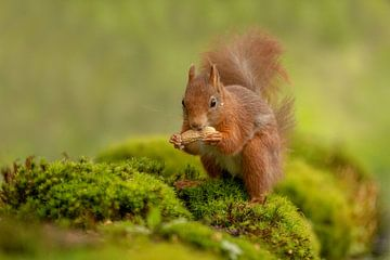 Écureuil à la menthe poivrée