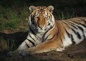 Junger Amur-Tiger