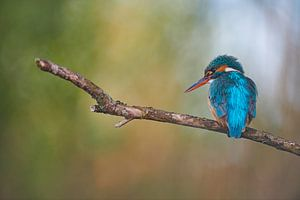 IJsvogel - Droomland van