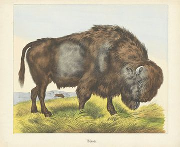 Bison, Firma Joseph Scholz, 1829 - 1880