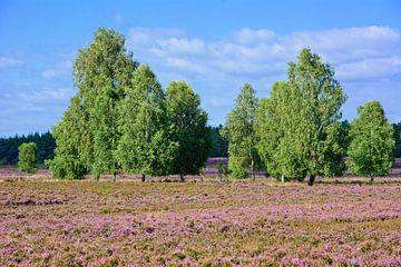 Schitterende heidebloesem op de Lüneburger Heide van Gisela Scheffbuch