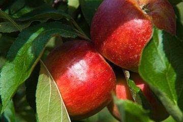rode appels van George Burggraaff