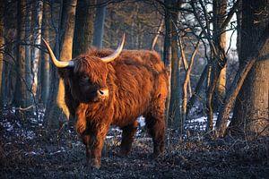Schotse Hooglander in het ochtendlicht