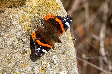 Schmetterling Admiral auf Felsen von Farifos