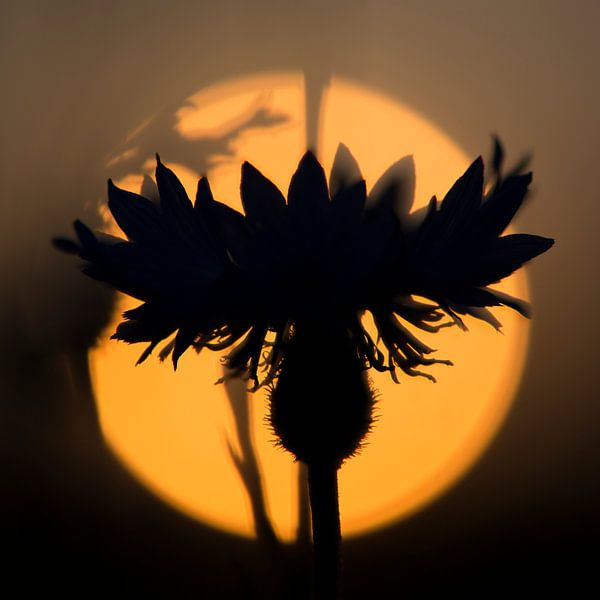 sunset flower van jowan iven