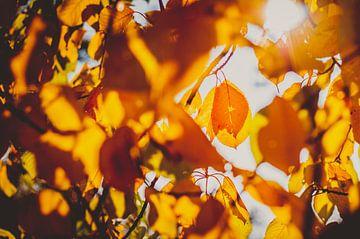 Gouden herfst - gloeiende rode bladeren van Jonathan Schöps | UNDARSTELLBAR