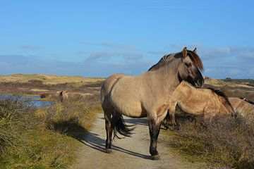 Konikpaarden in Kennemerduinen Nederland van My Footprints