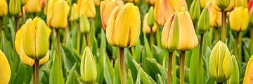 Nahaufnahme von gelben Tulpen in einer Panorama-Ansicht von eric van der eijk