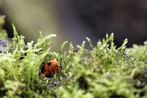 Kikkertje in het mos
