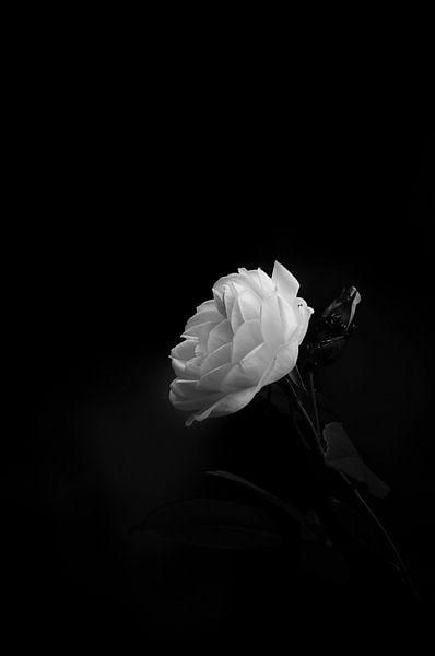 The rose in May van Dick Nieswaag